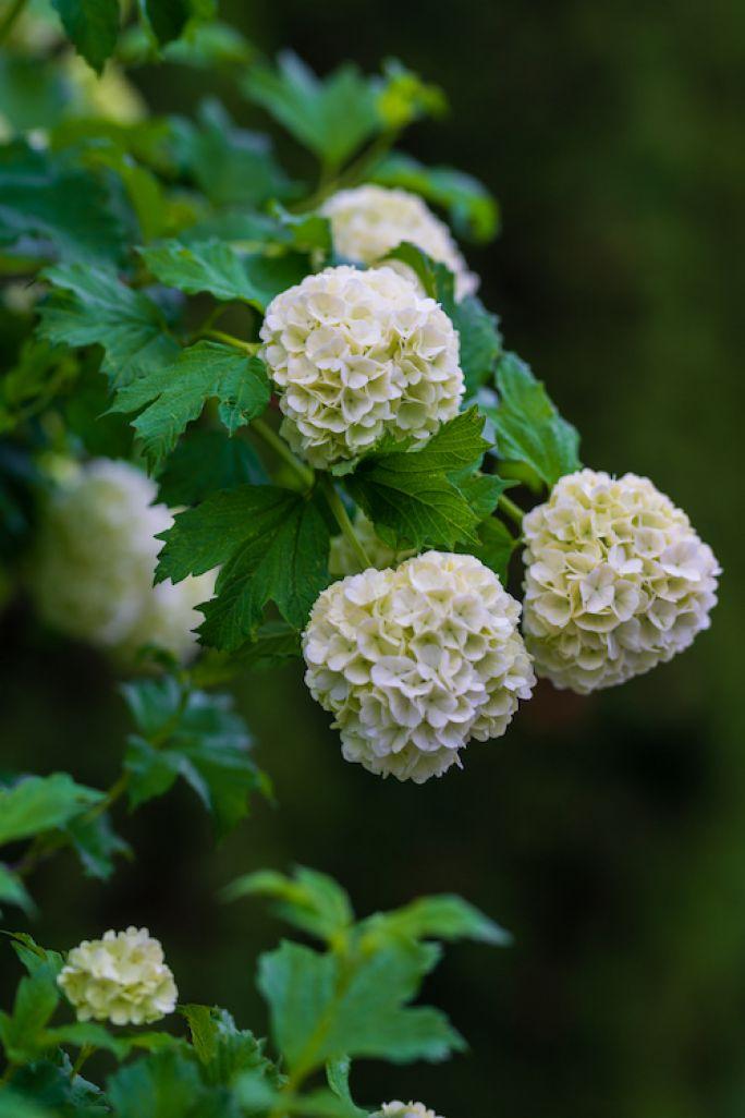 hortensja macrophylla