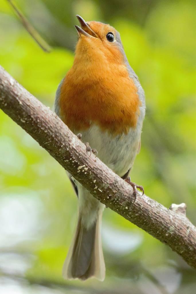 rudzik ptak