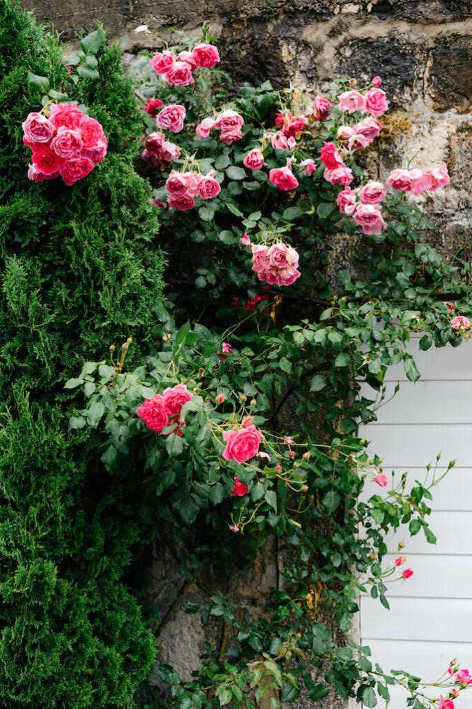 kiedy pryskać róże