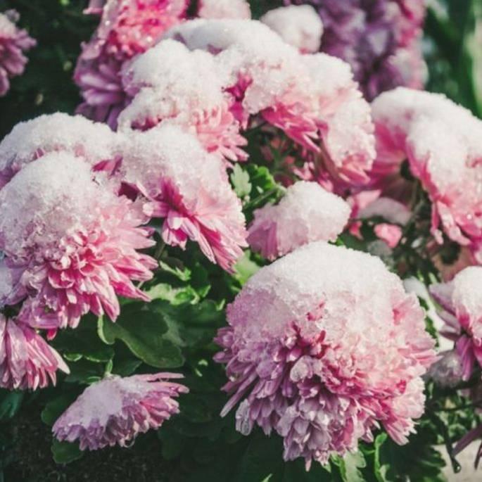 jak zabezpieczyć kwiaty na zime