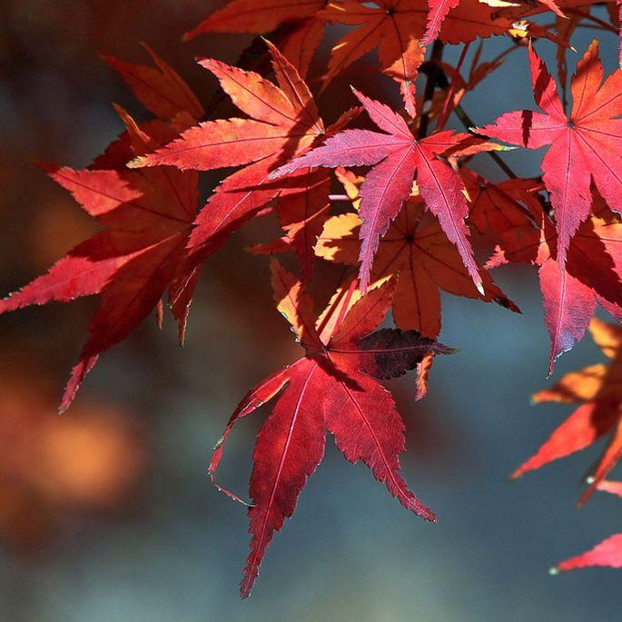 Kolor czerwony dają antocyjany, żółty – karoten. Skąd biorą się barwy jesieni?