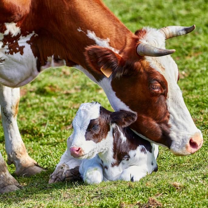 Krowa to prawdziwy cud. Sprawdź, jak mało o niej wiesz