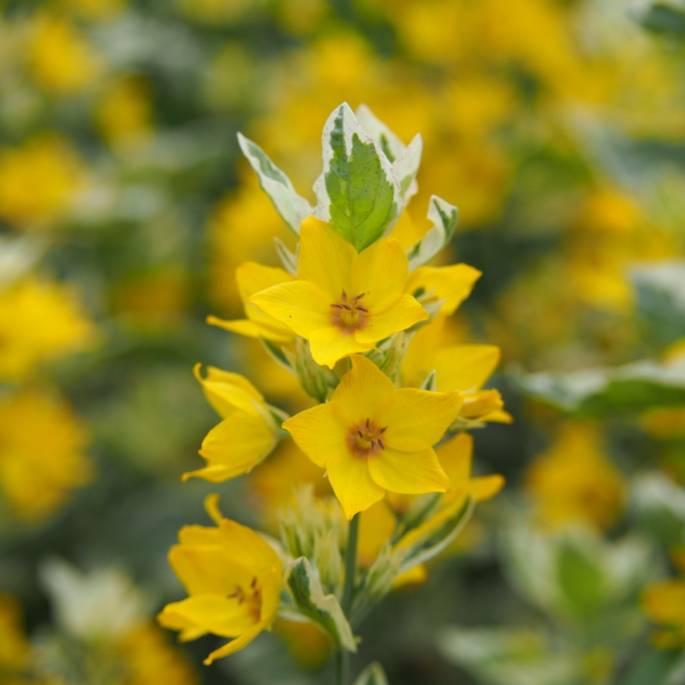 Radosna pstrokacizna, czyli wybieramy najpiękniejsze rośliny o pstrych liściach