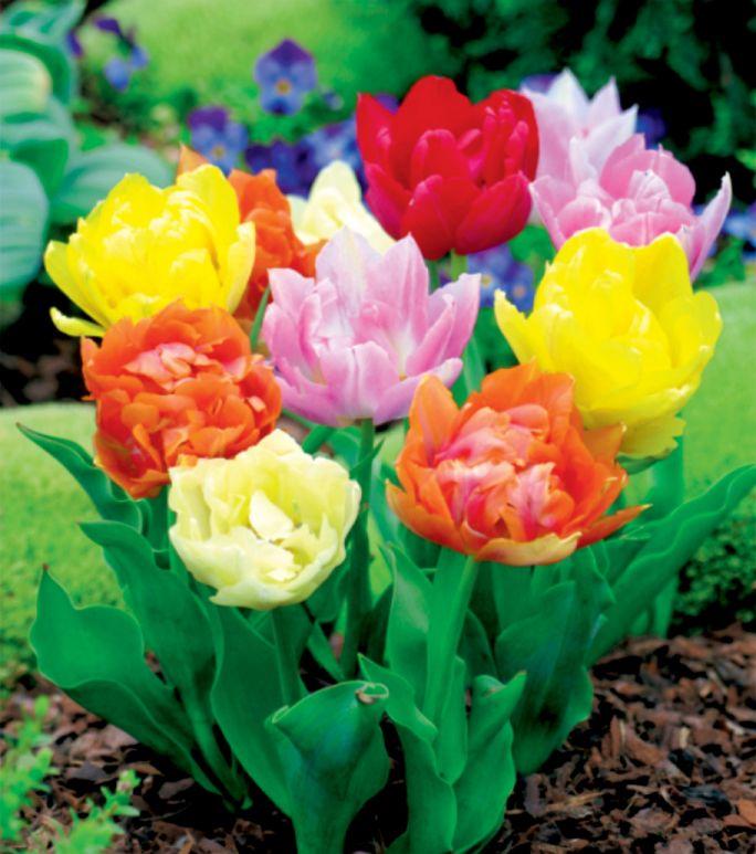 tulipan pełny mieszanka