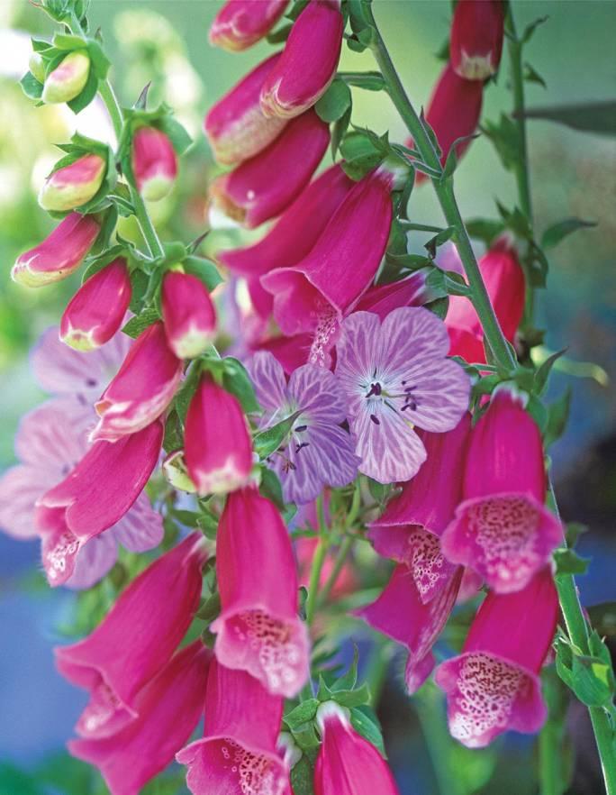 Kwiaty Dzwonki Do Ogrodu Czaruja Zapachem Uwodza Kolorem Werandacountry Pl