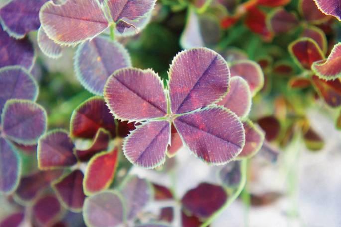 KONICZYNA 'Purpurascens Quadrifolium'