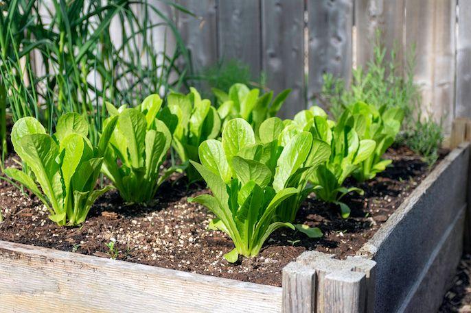 A może własny ogródek warzywny przekona cię do bycia wege?