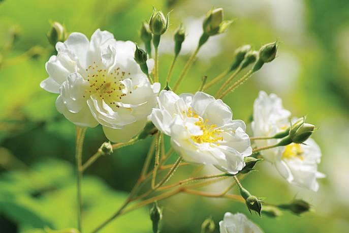 Rosa multiflora Bobbie James, róża Bobbie James