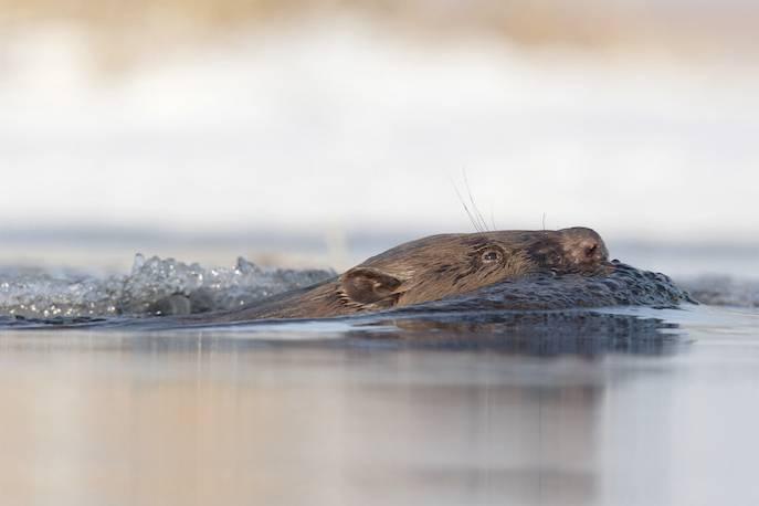 Luty to najlepsza pora do obserwacji bobrów; fot. Marcin Karetta