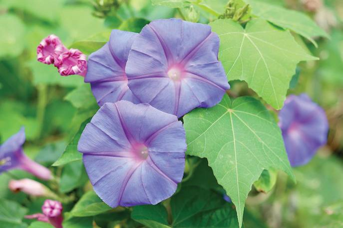 Ipomoea purpurea, Wilec purpurowy
