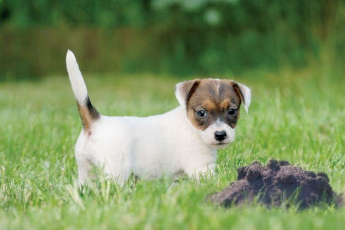 Pies na kreta