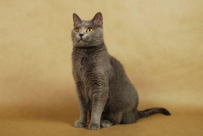 Złotooki kot Chartreux
