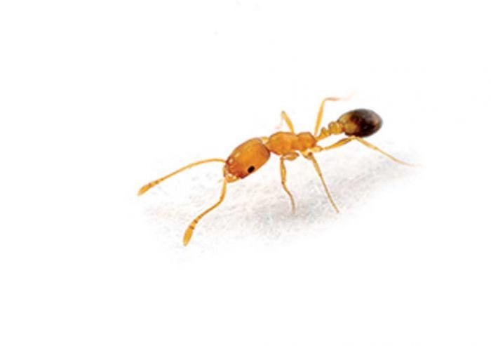 Czym poczęstować mrówki