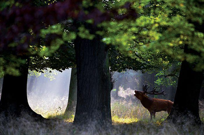 Jeleń w zalotach
