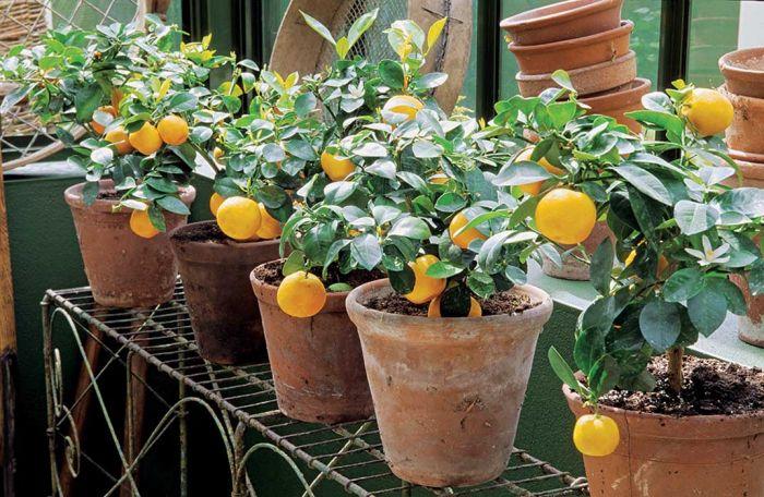 Pomarańcza z własnej uprawy