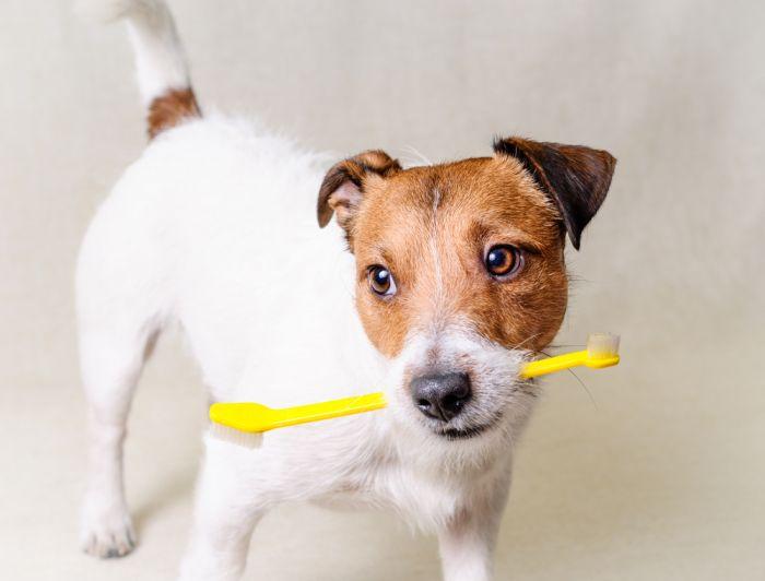 Uwaga na zęby psa