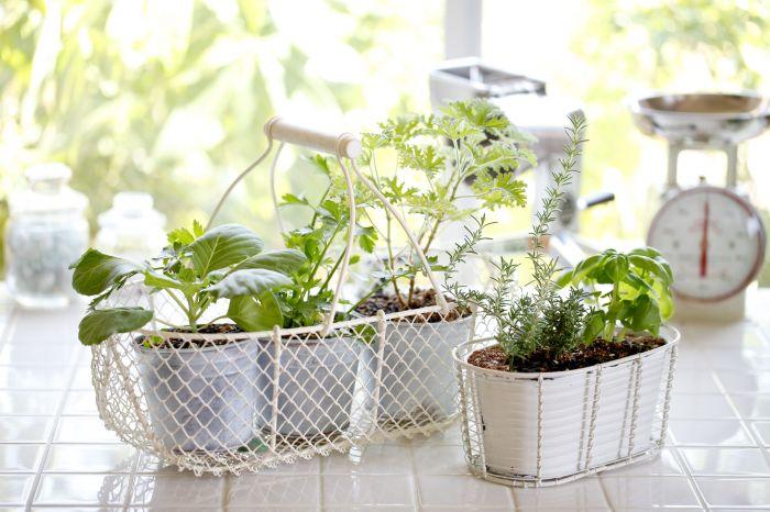 Rośliny, które odstraszą komary