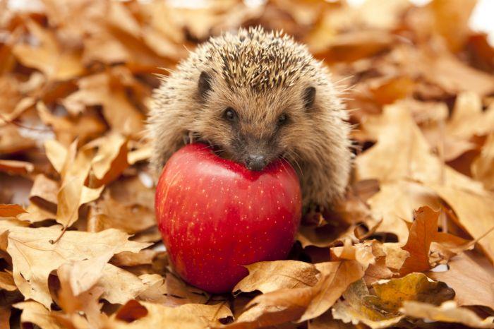 Czy jeże noszą jabłka na kolcach?