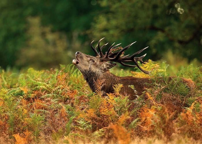 Jeleń na rykowisku