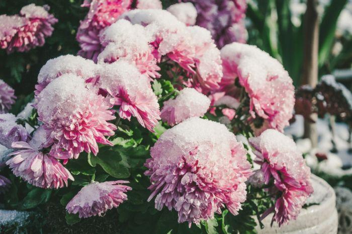 Jak ratować kwiaty przed przymrozkami?