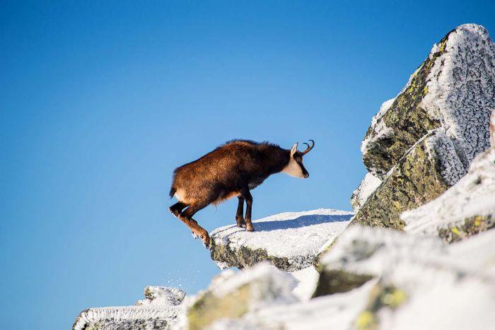 Zwinne kozice – zobacz, kto skacze po polskich górach