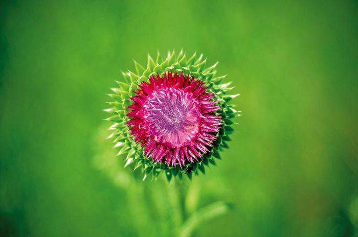 Osty – kłujące kwiaty do ogrodu