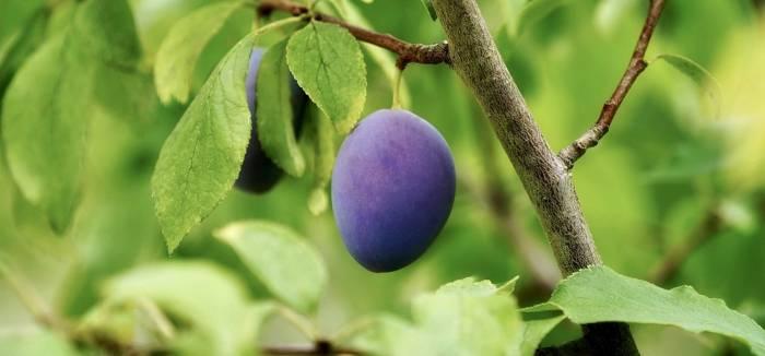Kiedy sadzi się drzewka owocowe?