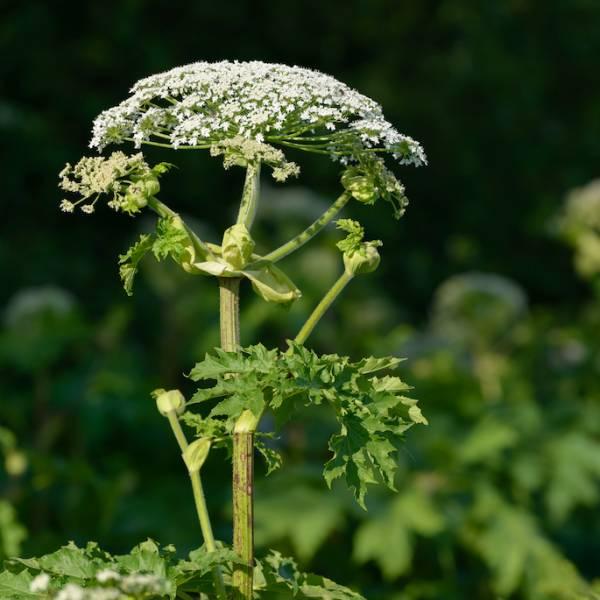 Nie tylko Barszcz Sosnowskiego. Poznaj niebezpieczne rośliny i sprawdź, jak się chronić