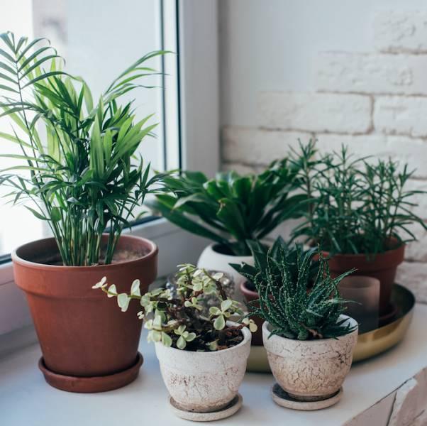 odmładzanie roślin doniczkowych