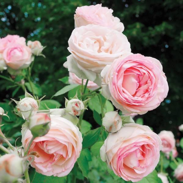 Naturalna perfumeria: wybieramy pachnące kwiaty do ogrodu