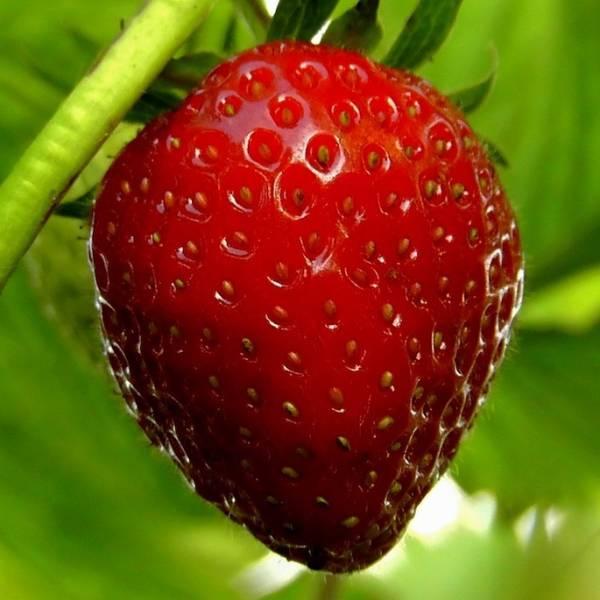 środek na szarą pleśń truskawki
