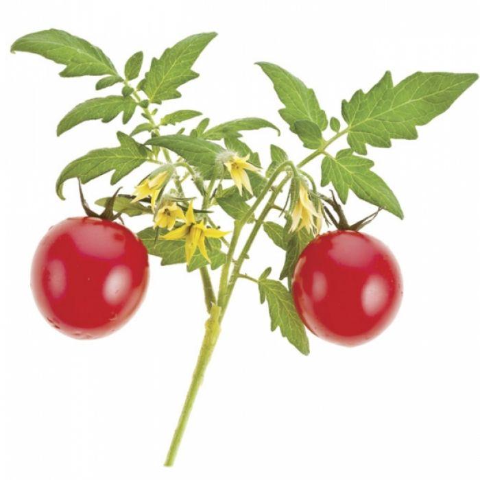 Pomidor czyli eko na komara