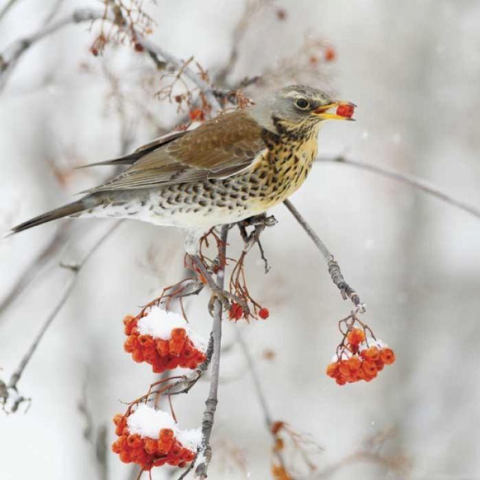 Czym karmić ptaki zimą?