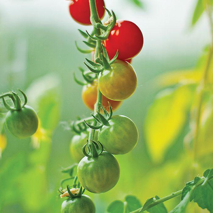 Pomidorem przegoń mysz