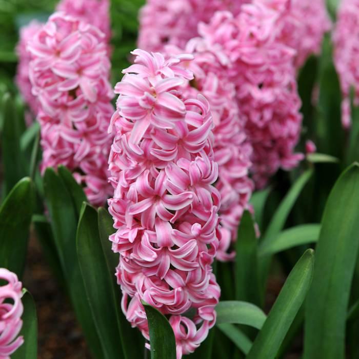 rośliny cebulowe na wiosenne rabaty w ogrodzie