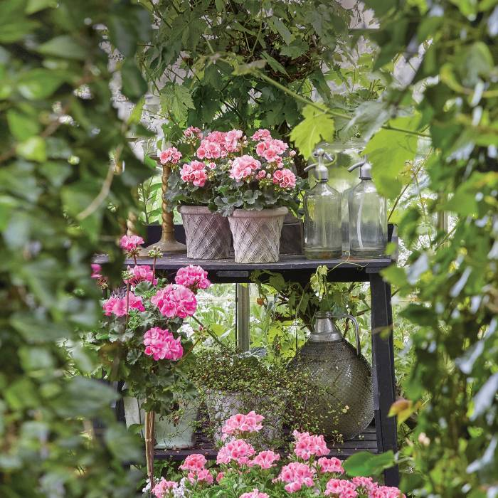 Pelargonie na balkon i do ogrodu