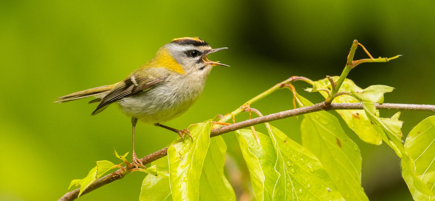 dlaczego-ptaki-spiewaja-01.jpg