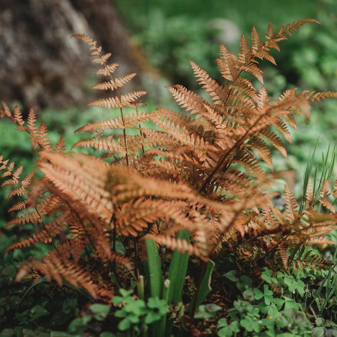 Paprocie ogrodowe – kolorowe liście na rabatach