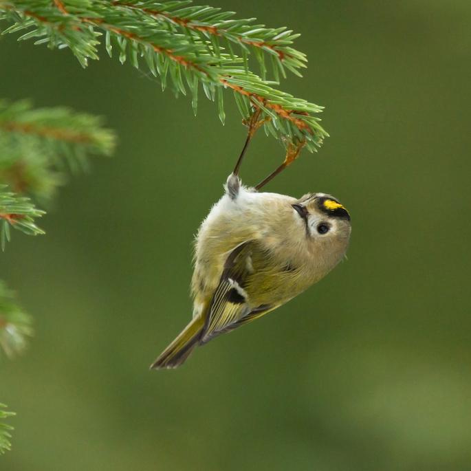 Śpiew ptaków: właściwie dlaczego ptaki śpiewają?